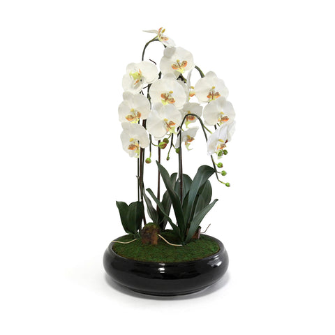 Phalaenopsis In Round Black Pot - Wh/Yel (Xl)