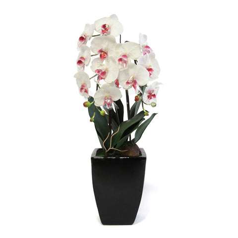 Phalaenopsis In Trapesium Black Pot - Wh/Red (M)