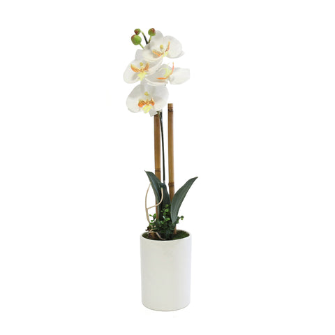 Phalaenopsis In Tube White Pot - Wh/Yel (Xs)