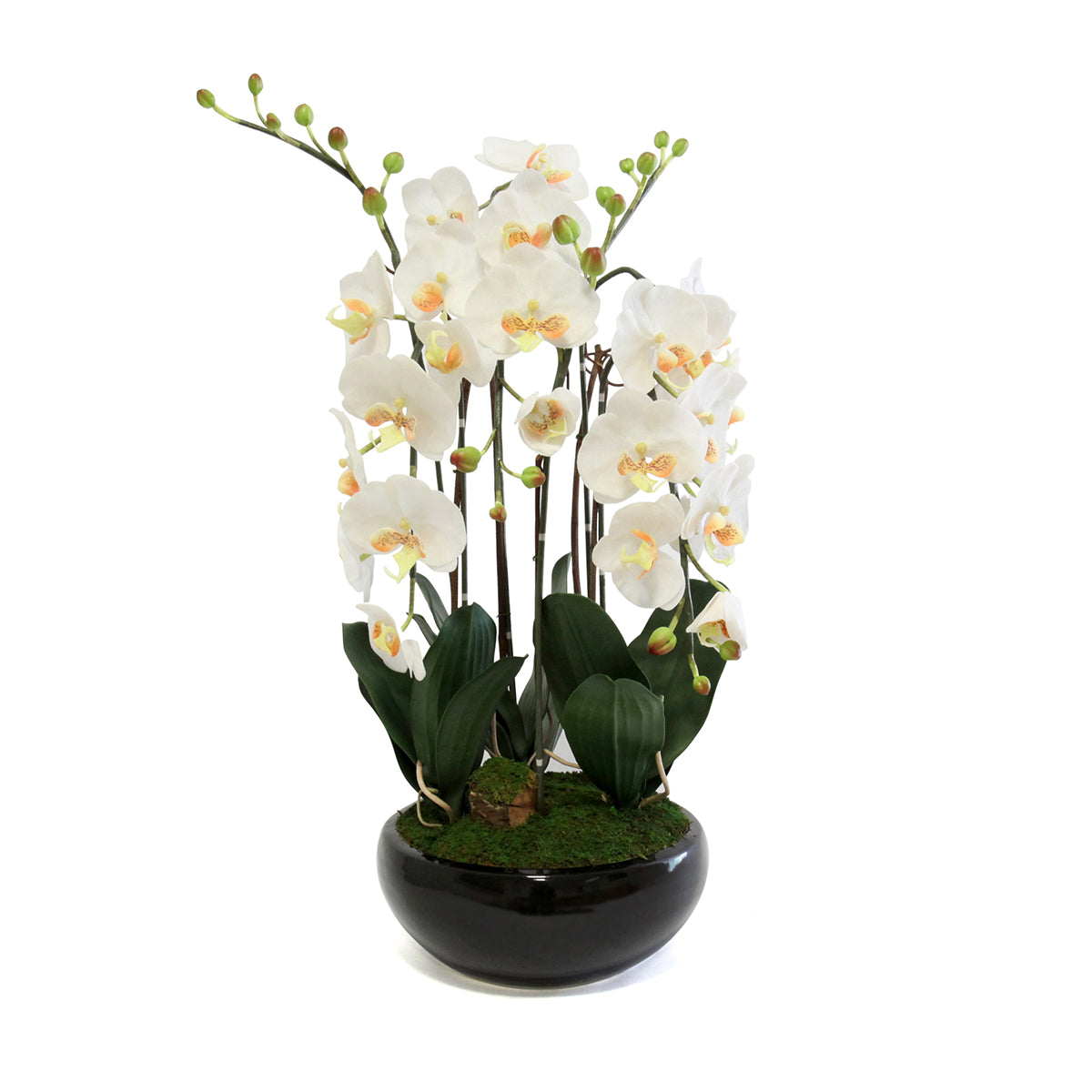 Phalaenopsis In Round Black Pot - Wh/Yel (M)