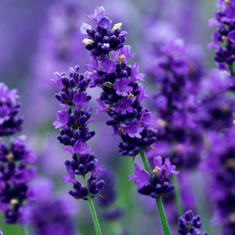 Lavender - The Sexiest Scents, as Proven By Science