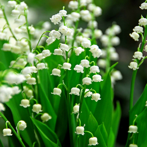 Lily of the Valley - The Sexiest Scents, as Proven By Science