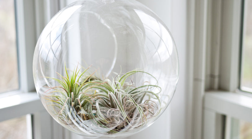 How To Grow & Care For Air Plants (Tillandsia) in Your Home