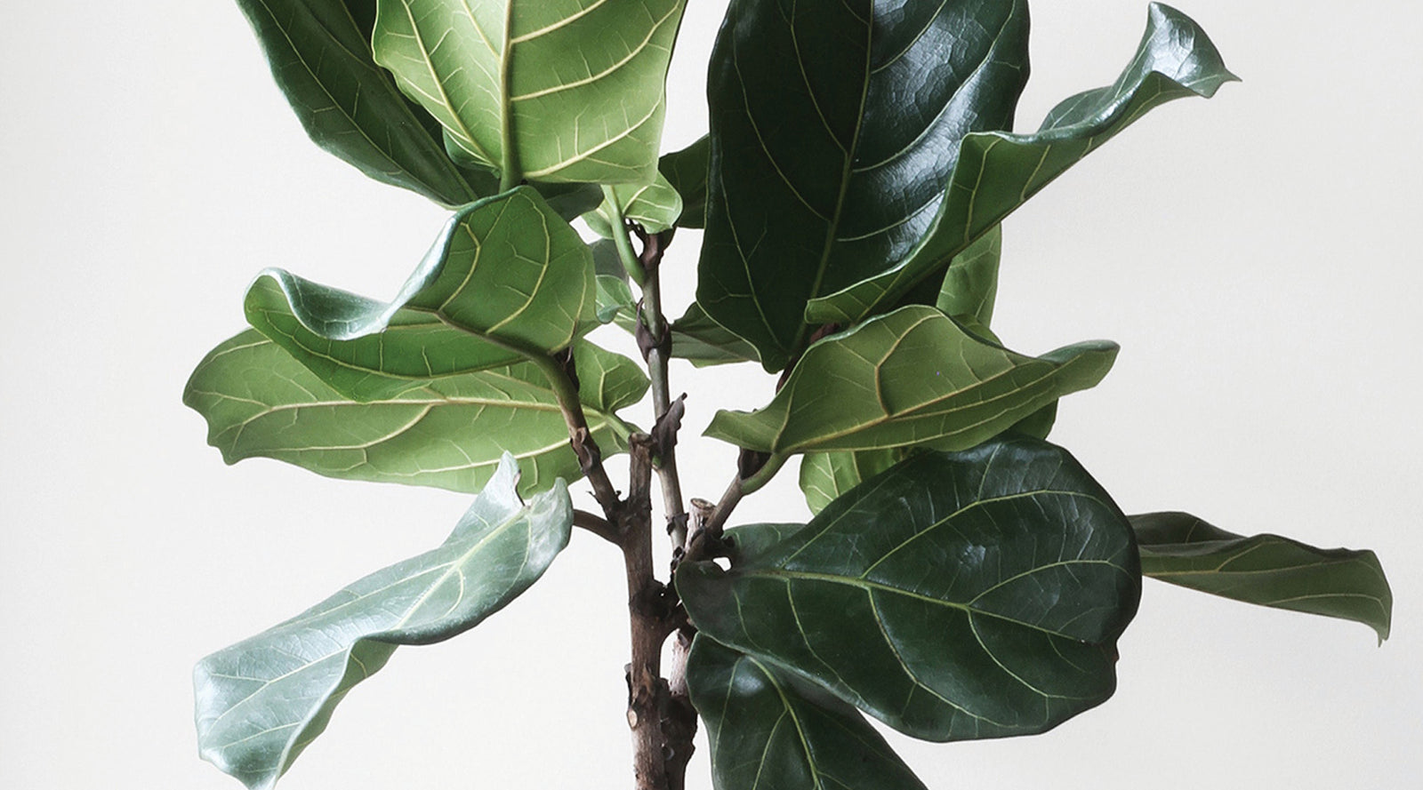How To Care For Your Fiddle Leaf Fig or Ficus Lyrata   Concrete ...