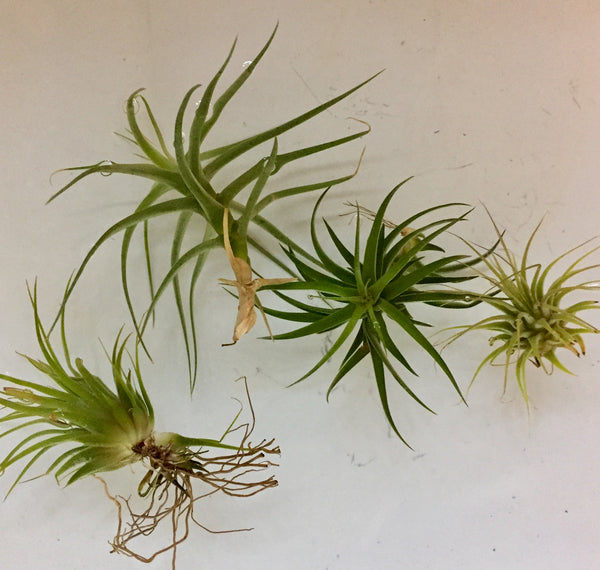 How To Grow & Care For Air Plants (Tillandsia) In Your