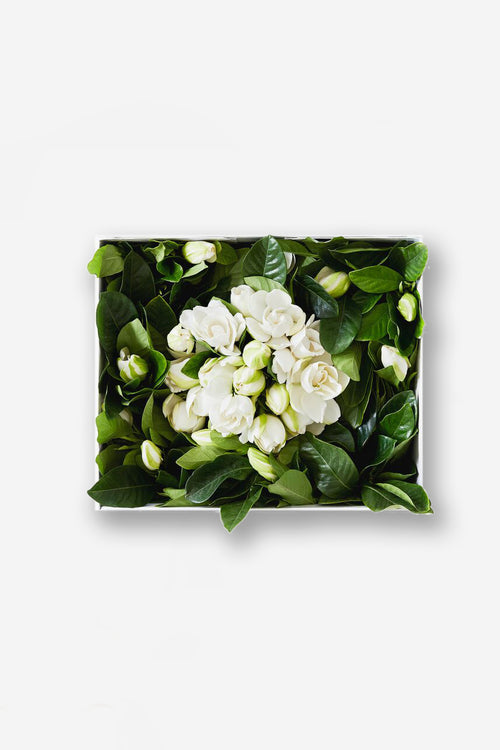 Deluxe Vine & Bloom Box (50 Gardenias)
