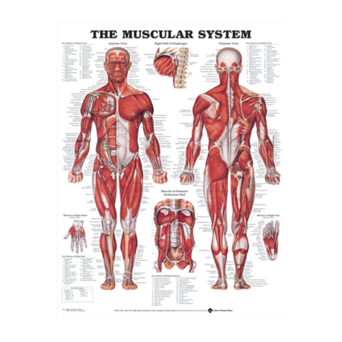 "Anatomical Charts - 20"" X 26"" - Heavy Weight Paper"