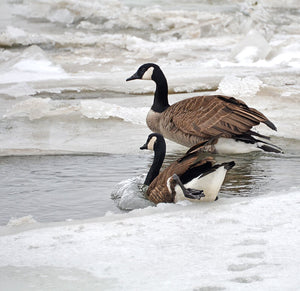 Canada Geese are not all migratory