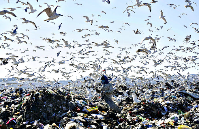 Seagulls feeding in landfills are affecting the quality of water in nearby lakes