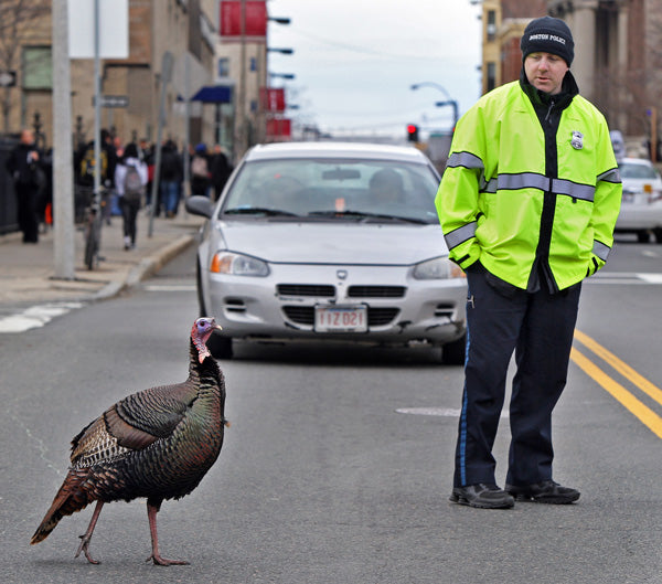 Wild Turkeys are increasingly problematic