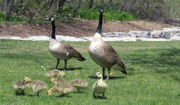 This site is intended to provide education and information about how to keep  Canada Geese away from your house, yard or lawn, so that you can make an ...