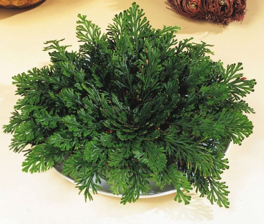 """Rose Of Jericho"" The Miracle Plant"