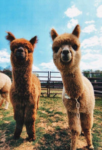 Funny llama Alpaca Pictures Hilarious Make You Smile