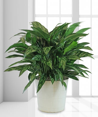chinese evergreen best plants for removing air pollutants