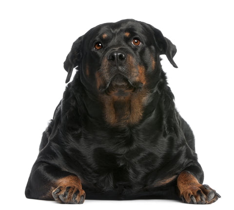 Fat Rotweiller