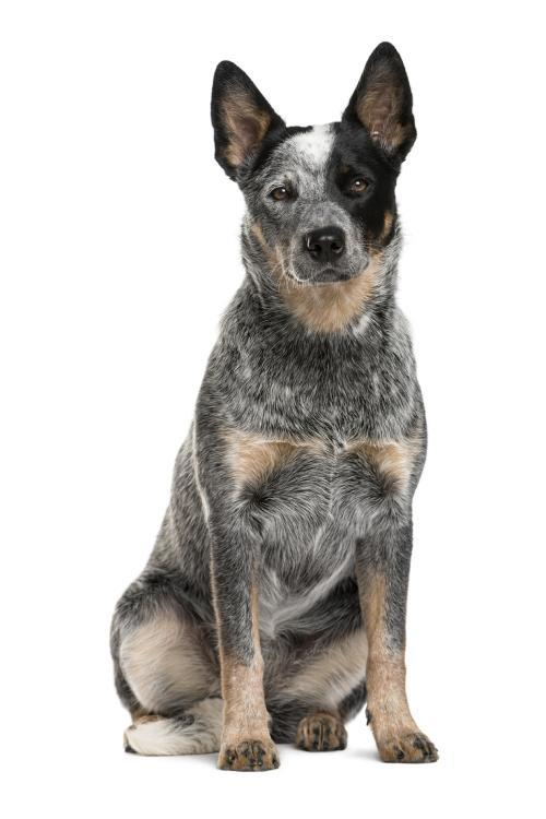 Australian Cattle Dog - 12.5kg Puppy