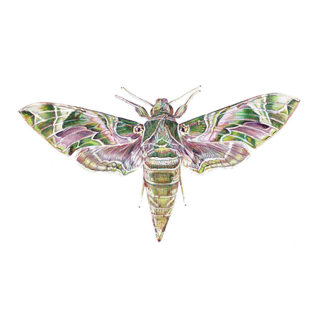 Colour Biro drawing of Oleander Hawk Moth