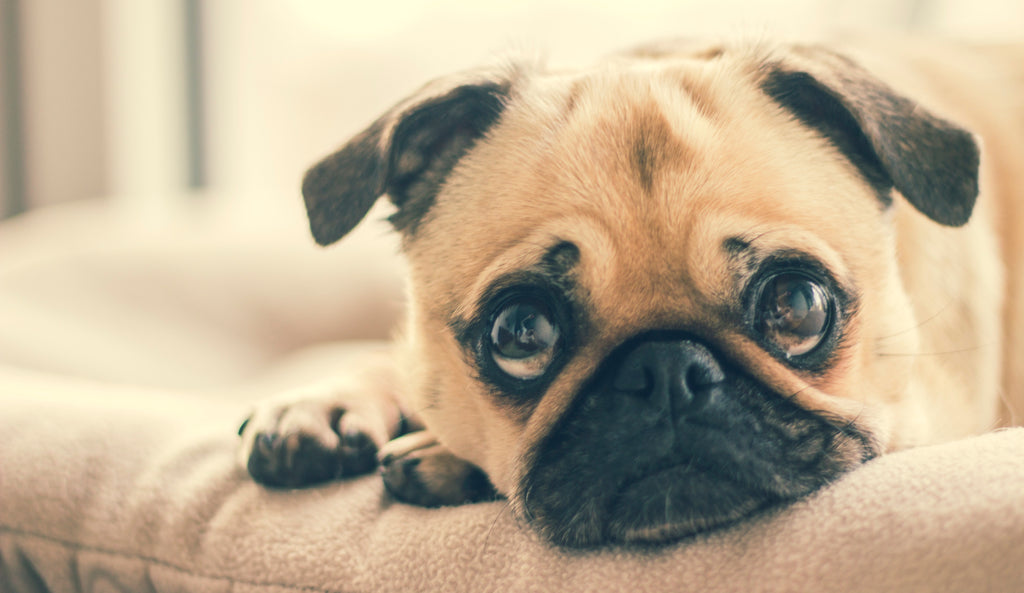 All You Need To Know About Separation  Anxiety In Dogs