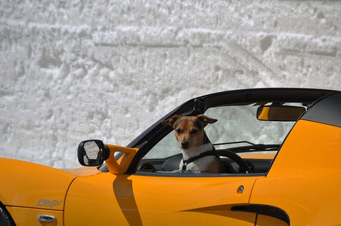 dog in supercar