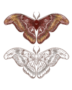 Atlas Moth by Jasper