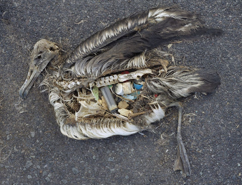 Dead Albatross with plastic pollution in stomach
