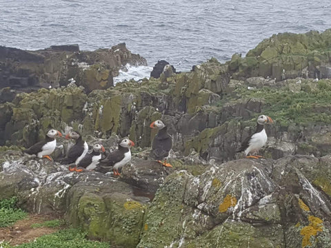 Puffins on Isle of May, Scotland