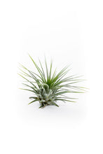 Air plant from The Air Plant Hub