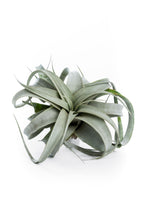 Air plant succulent from the Air Plant Hub