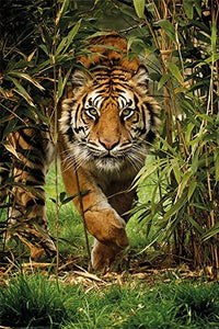 Tiger stalking through bamboo Poster - egoamo.co.za