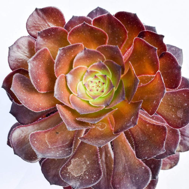 Aeonium Black Rose 4
