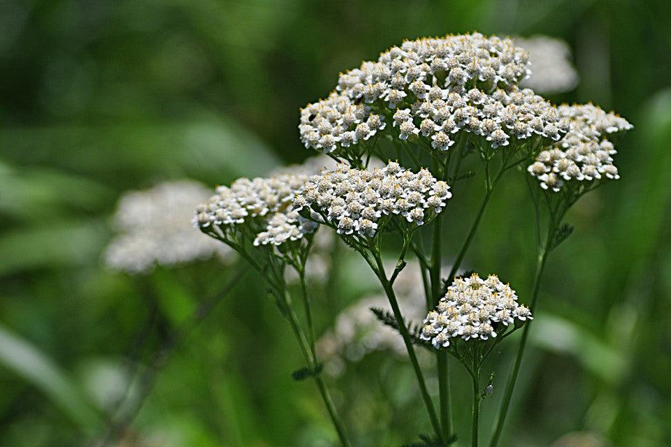 Yarrow Uses & Benefits