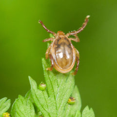 male paralysis tick (ixodes holocyclus)