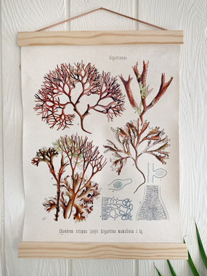 Vintage Botanical Irish Moss Chart
