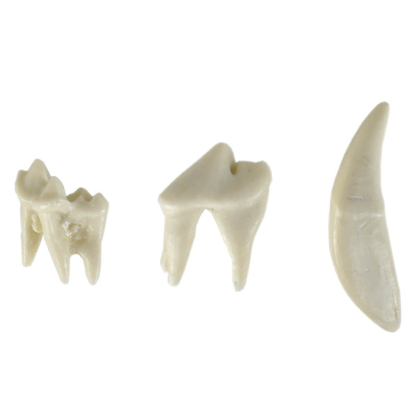 Canine Upper Right Quadrant Dentoform Replacement Teeth
