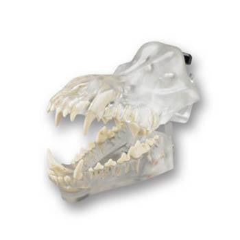 Veterinary dental Canine Dentoform Model - Radiopaque, transparent.