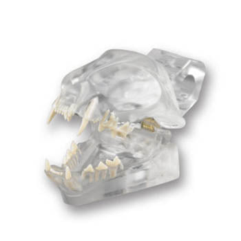 Veterinary dental Feline Dentoform Model - Radiopaque, transparent.