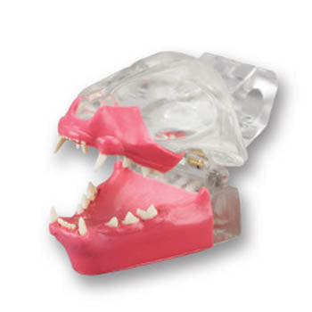 Veterinary Dental Feline Dentoform Model with Gingiva, transparent.
