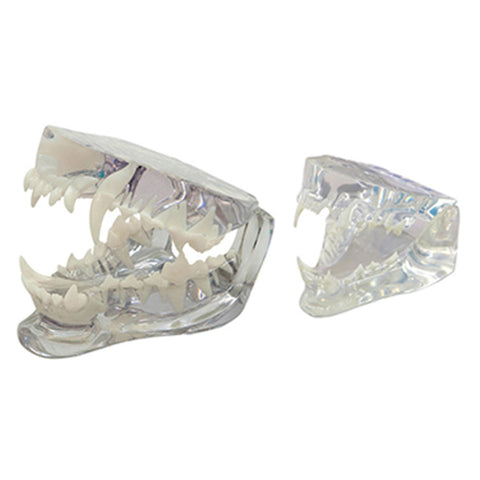Canine, feline, and rabbit dental jaw models for sale online. Models are transparent for root anatomy visualization. Removable teeth are available.