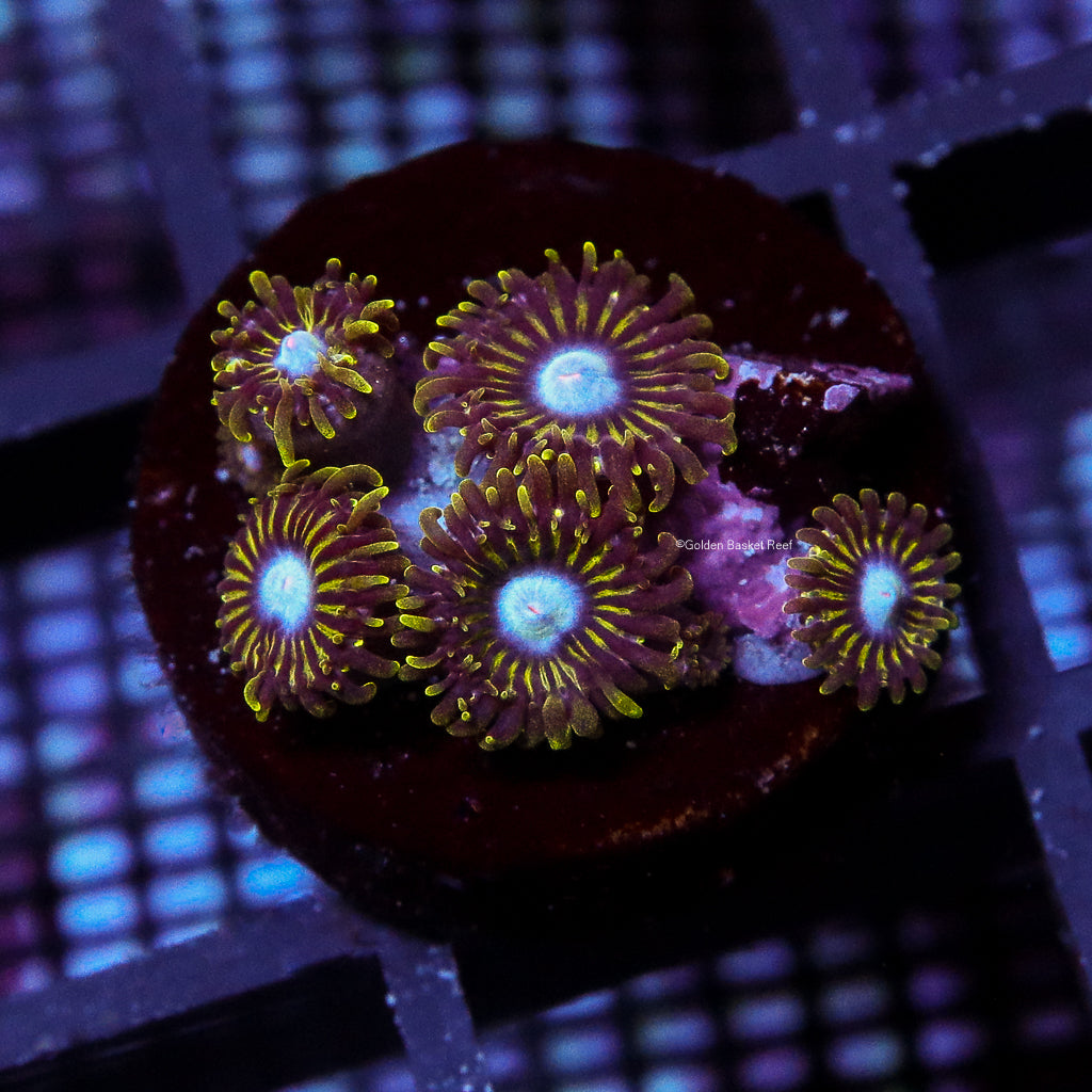 Zoa 5 Polyps Ice King