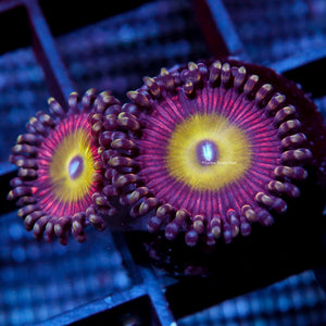 Zoa 2 Polyps GB Candy Apple Pink