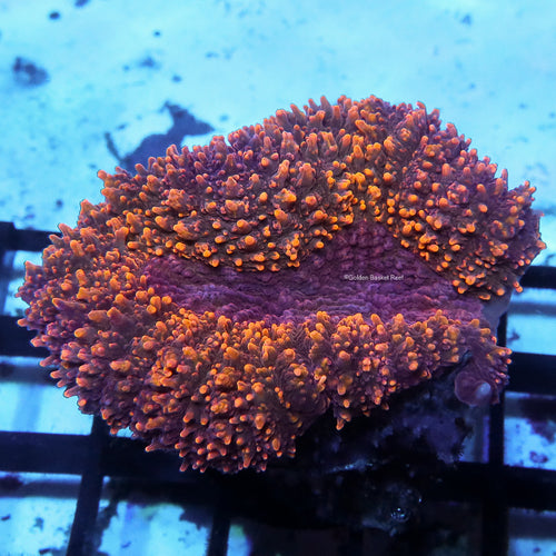 Acropora - PC Rainbow