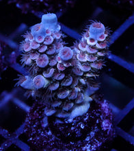 Acropora GB Underworld