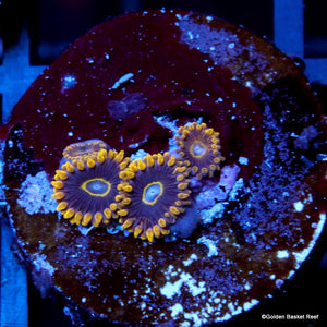 Zoa 4 Polyps Purple Hornet
