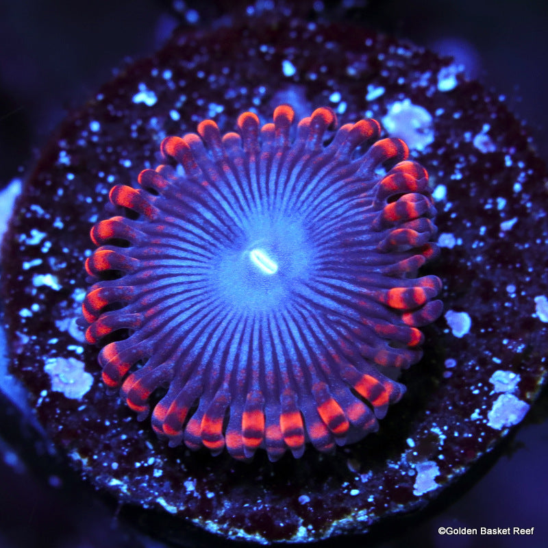 Zoa 1 Polyp Superman