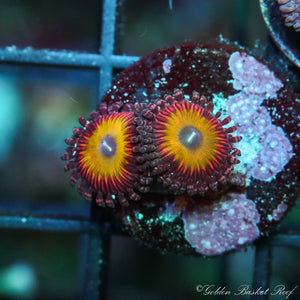 Zoa 2 Polyps Candy Apple Morph