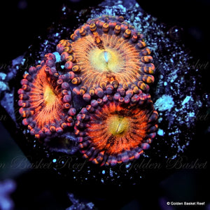 Zoa 3 Polyps GB Taste of rainbow
