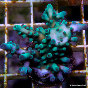 Acropora GB Blue Thunder