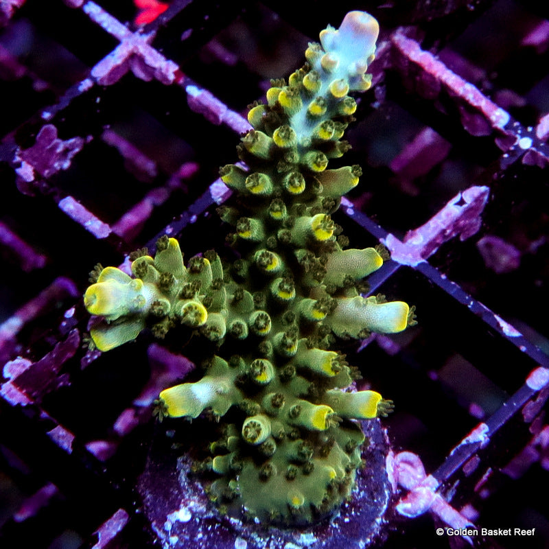 Acropora GB Golden Kiwi