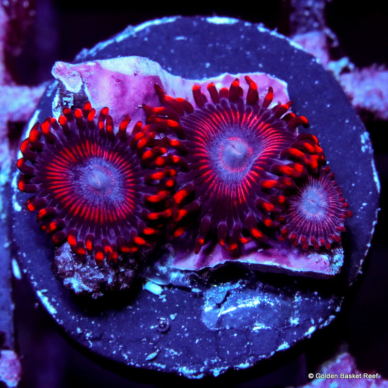 Zoa 3 Polyps GB Fire Demon