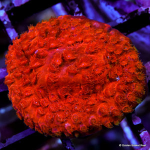Cyphastrea Glow Orange